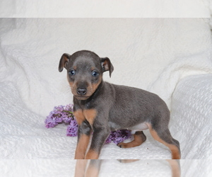 Miniature Pinscher Puppy for sale in SHILOH, OH, USA