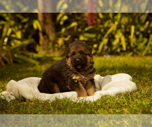 German Shepherd Dog Puppy for Sale in FORT MYERS, Florida USA