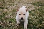 Small #5 Labrador Retriever-Siberian Husky Mix