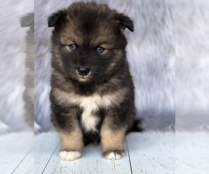 Pomsky Puppy for Sale in LEBANON, Oregon USA