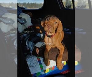 Vizsla Puppy for sale in CITY OF SPOKANE VALLEY, WA, USA