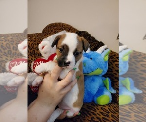 French Bulldog-Mini Australian Shepterrier Mix Puppy for Sale in JACKSONVILLE, Florida USA