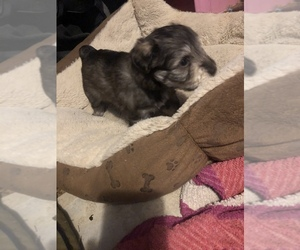 Schnauzer (Miniature) Puppy for sale in BOYLESTON, IN, USA