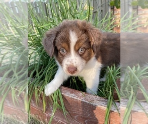 Miniature Australian Shepherd-Unknown Mix Puppy for sale in MADISON, AL, USA