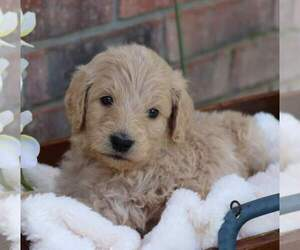 Goldendoodle Puppy for sale in FAIR GROVE, MO, USA