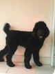 Poodle (Standard) Puppy For Sale in ELKHORN, WI
