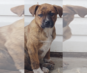 Australian Cattle Dog-Azores Cattle Dog Mix Puppy for sale in MILWAUKEE, WI, USA