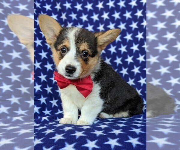 View Ad: Pembroke Welsh Corgi Puppy for Sale near Italy