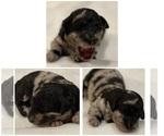 Puppy 7 Bernedoodle-Poodle (Standard) Mix