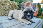 French Bulldog Puppy For Sale in HONEY BROOK, PA, USA