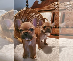 French Bulldog Puppy for Sale in COLUMBIA, Ohio USA