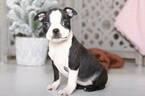 Sophie Female Boston Terrier