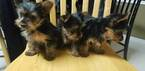 Yorkshire Terrier Puppy For Sale in SUWANEE, GA, USA