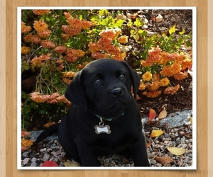 Labrador Retriever Dog for Adoption in N STONINGTON, Connecticut USA