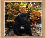Image preview for Ad Listing. Nickname: Black labradors