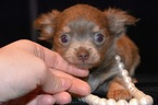 Chihuahua Puppy For Sale in MARYSVILLE, WA, USA
