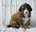 Bernedoodle Puppy For Sale in MILLERSBURG, OH, USA