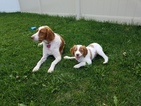 Brittany Puppy For Sale in RIGBY, ID,