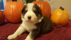 Border Collie Puppy For Sale in NORTH CHESTERFIELD, VA