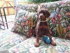 Doberman Pinscher Puppy For Sale in LEPANTO, AR, USA