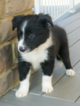 Border Collie Puppy For Sale in MELBER, KY, USA