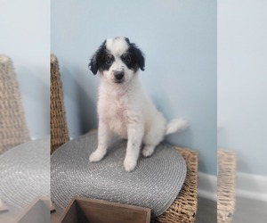 Bernedoodle-Goldendoodle Mix Puppy for Sale in LAKE CITY, Florida USA
