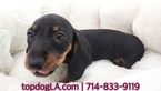 Dachshund Puppy For Sale in LA MIRADA, California,