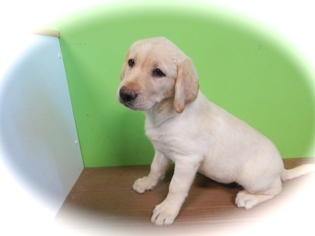 Labrador Retriever Puppy For Sale in HAMMOND, IN, USA