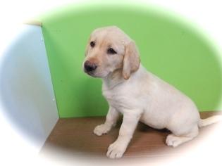 Labrador Retriever Puppy For Sale in HAMMOND, IN, USA