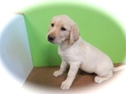 Labrador Retriever Puppy For Sale in HAMMOND, IN,