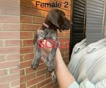 Small #21 German Shorthaired Pointer