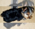 Small #5 Morkie