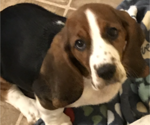 Basset Hound Puppy for Sale in IRMO, South Carolina USA