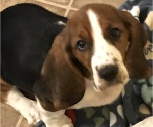 Basset Hound Puppy for Sale in IRMO, South Carolina USA