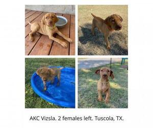 Vizsla Puppy for sale in TUSCOLA, TX, USA