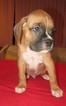 Boxer Puppy For Sale in POMONA, CA