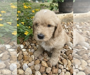 Goldendoodle Puppy for sale in BANDERA, TX, USA