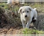 Small #4 German Shepherd Dog-Great Pyrenees Mix