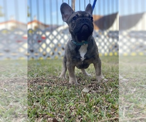 French Bulldog Puppy for Sale in SOUTH GATE, California USA