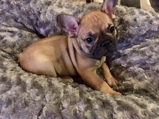 French Bulldog Puppy For Sale in TEMPLETON, CA, USA