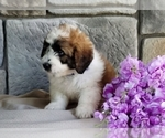Puppy 10 Poodle (Miniature)-Saint Bernard Mix