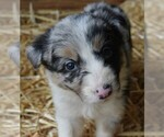 Puppy 5 Border Collie