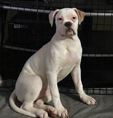 American Bulldog Puppy For Sale in CONCORD, NC, USA