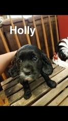 Cavalier King Charles Spaniel-Golden Cocker Retriever Mix Puppy For Sale in LIGONIER, IN, USA