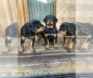 Rottweiler Puppy for sale in CLINTON, MT, USA