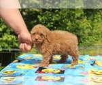 Small #27 Goldendoodle