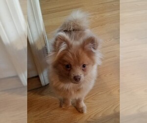 Pomeranian Puppy for sale in CO SPGS, CO, USA