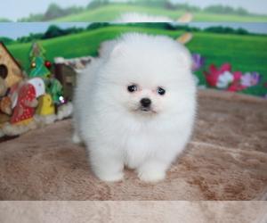 Pomeranian Puppy for sale in DALLAS, TX, USA