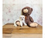 Maltese Puppy For Sale in CLEVELAND, NC, USA