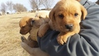 Labrador Retriever Puppy For Sale in HAVANA, Kansas,